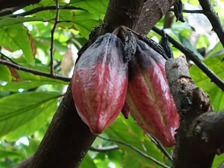 Dietní jídla - kakaovník